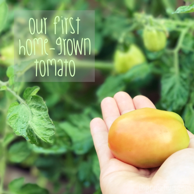 Our first home grown tomato.jpg